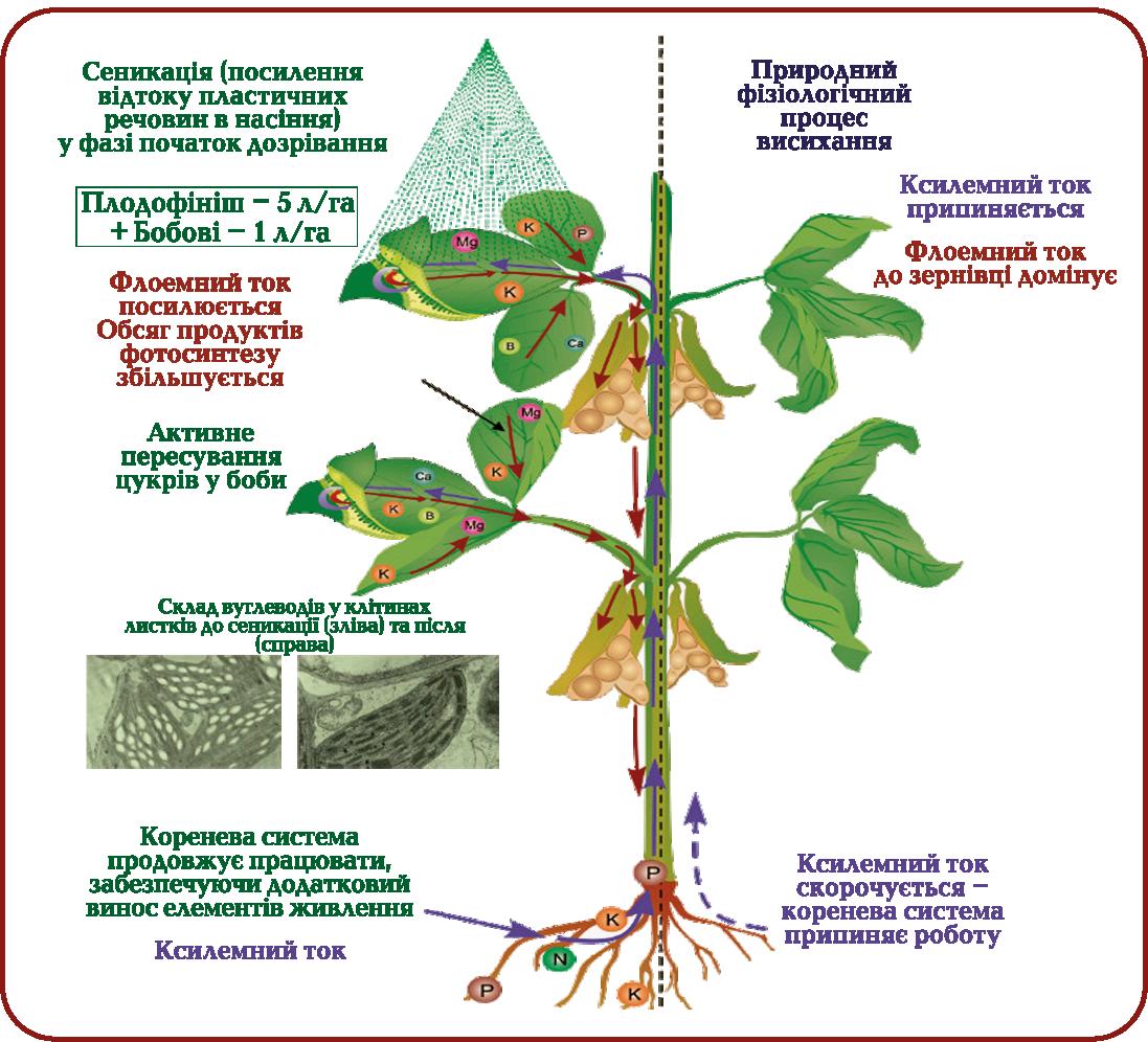 Процес висихання рослини